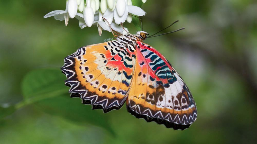 Cethosia cyane euanthes : Leopard Lacewing (ผีเสื้อกะทกรกธรรมดา)