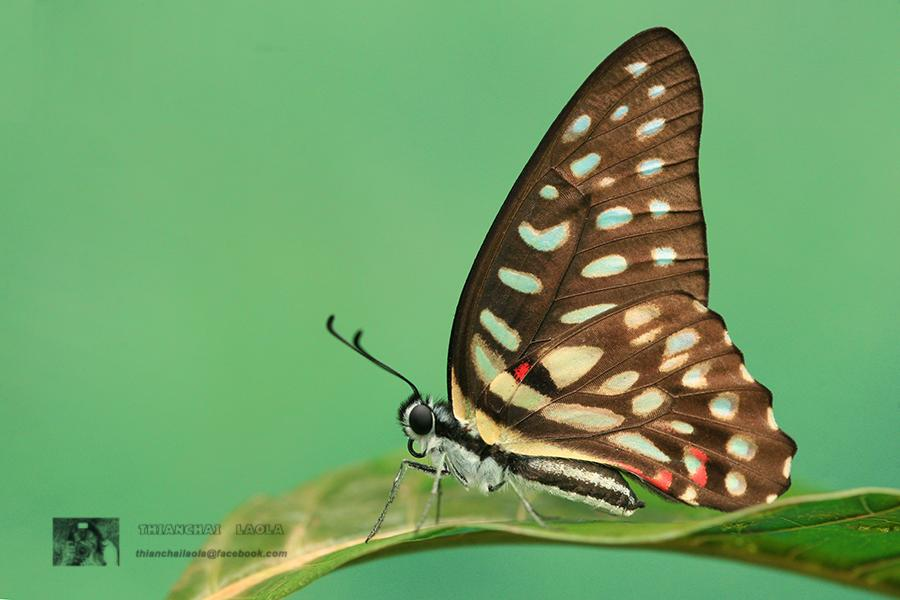 Graphium arycles sphinx : Spotted Jay (ผีเสื้อหนอนจำปีจุดแดงต่อ)