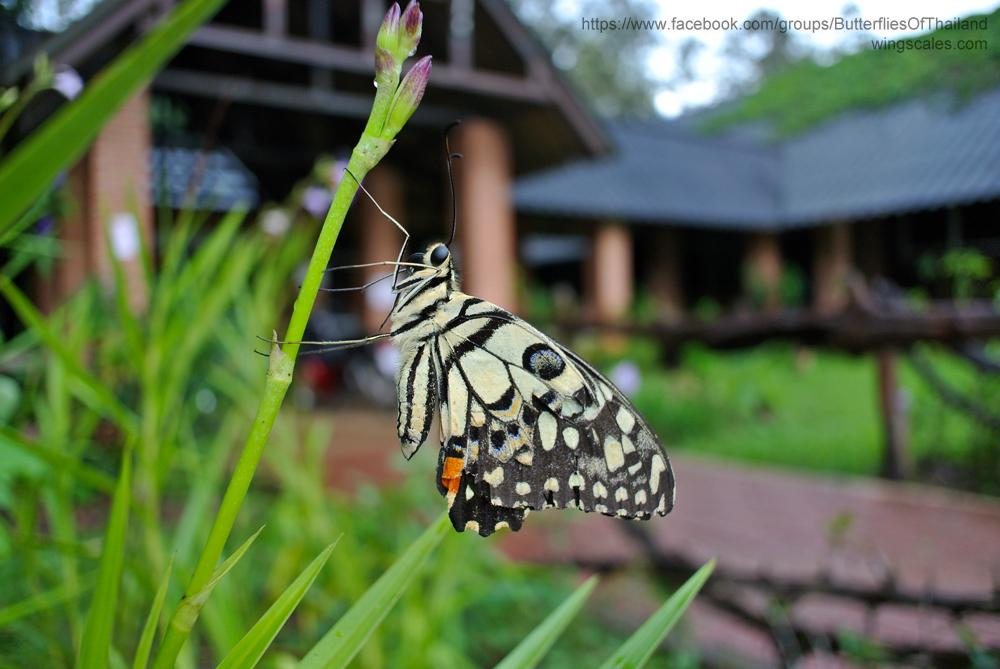 Papilio demoleus malayanus : Lime Butterfly (ผีเสื้อหนอนมะนาว)