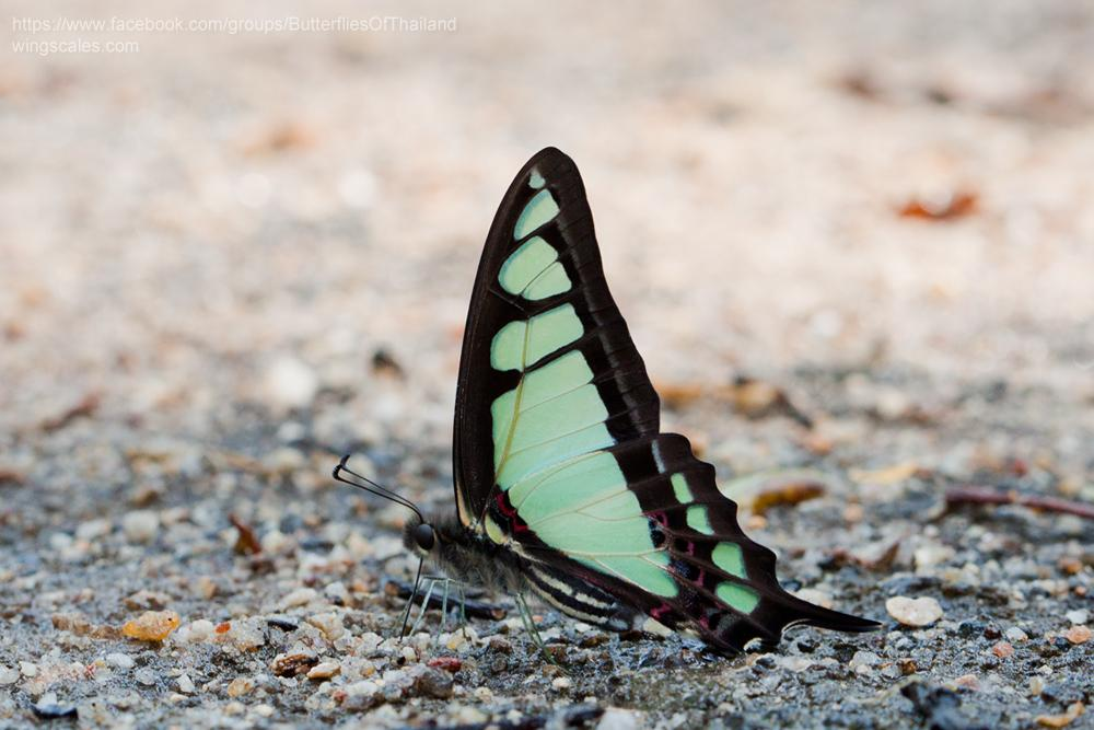 Graphium cloanthus cloanthus : Glassy Bluebottle (ผีเสื้อสะพายฟ้าหางยาว)