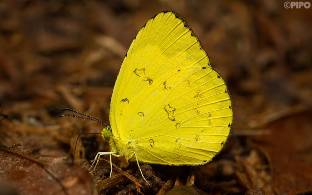 Eurema simulatrix sarinoides : Hill Grass Yellow (ผีเสื้อเณรภูเขา)