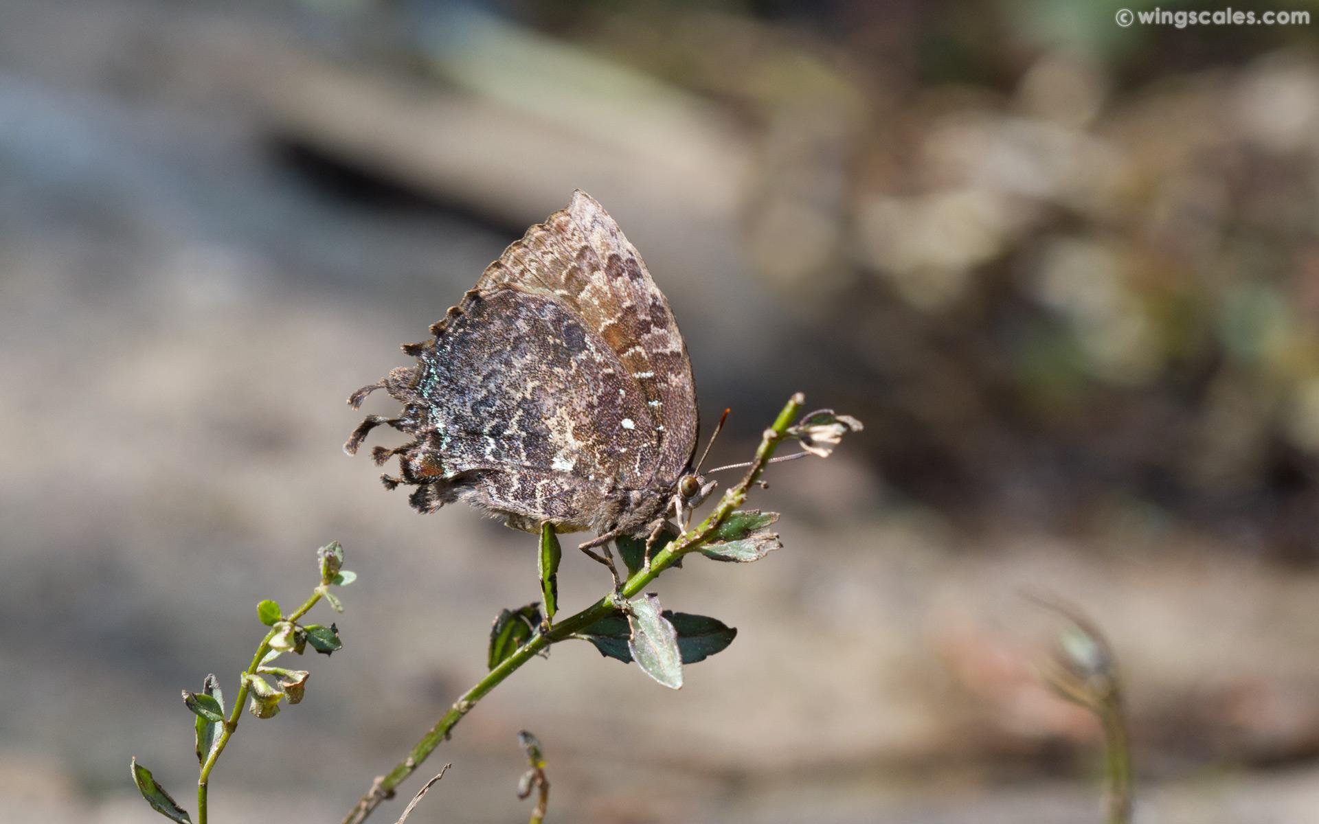 Thaduka multicaudata multicaudata : Many-tailed Oakblue (ผีเสื้อฟ้าหางสาม)