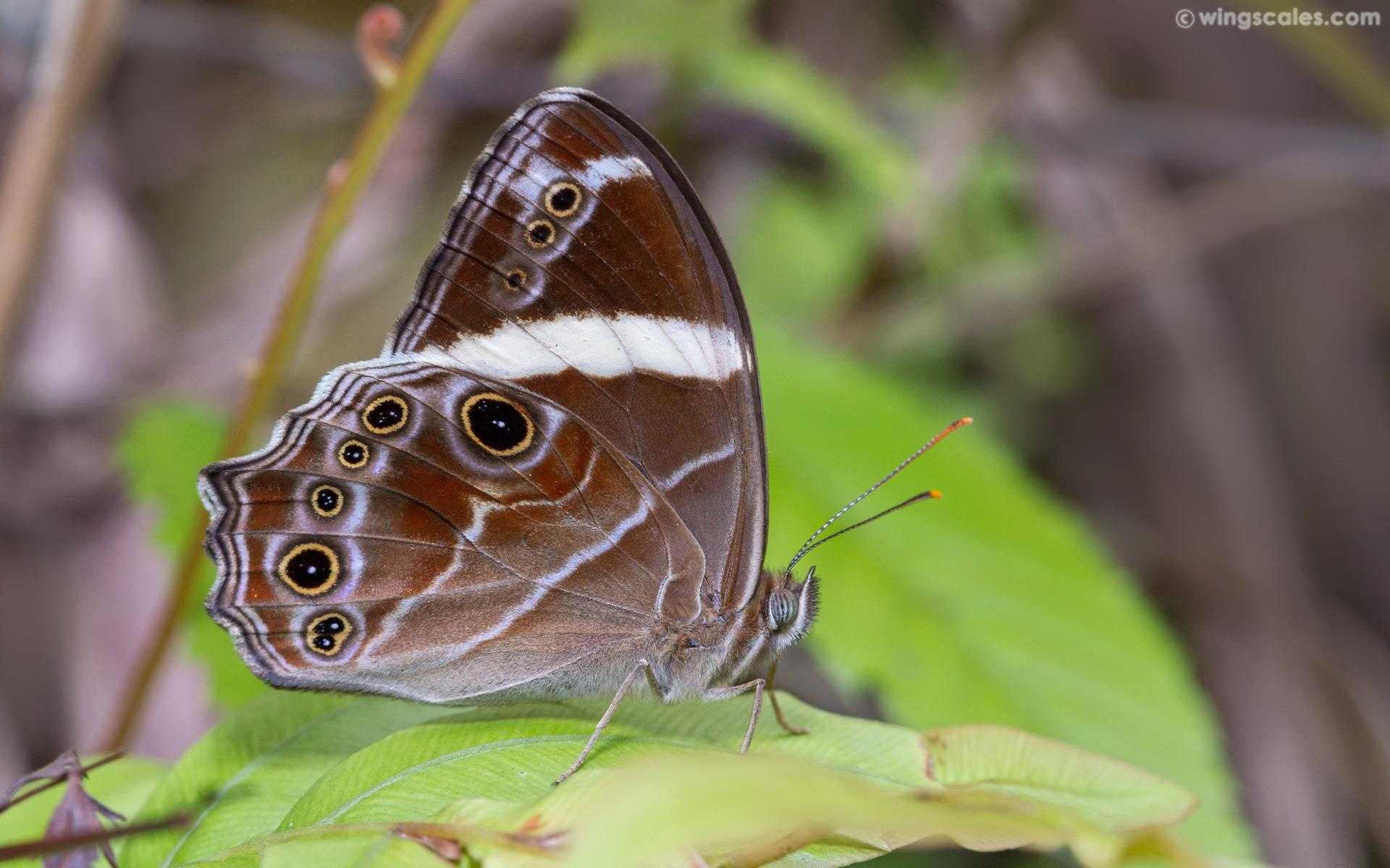 Lethe confuse confuse : Banded Treebrown (ผีเสื้อเลอะเทอะลายแถบ)