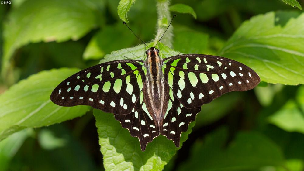 Graphium agamemnon agamemnon : Tailed Jay (ผีเสื้อหนอนจำปีธรรมดา)