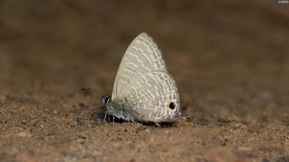 lonolyce helicon merguiana : Pointed Lineblue (ผีเสื้อฟ้าขีดปีกแหลม)