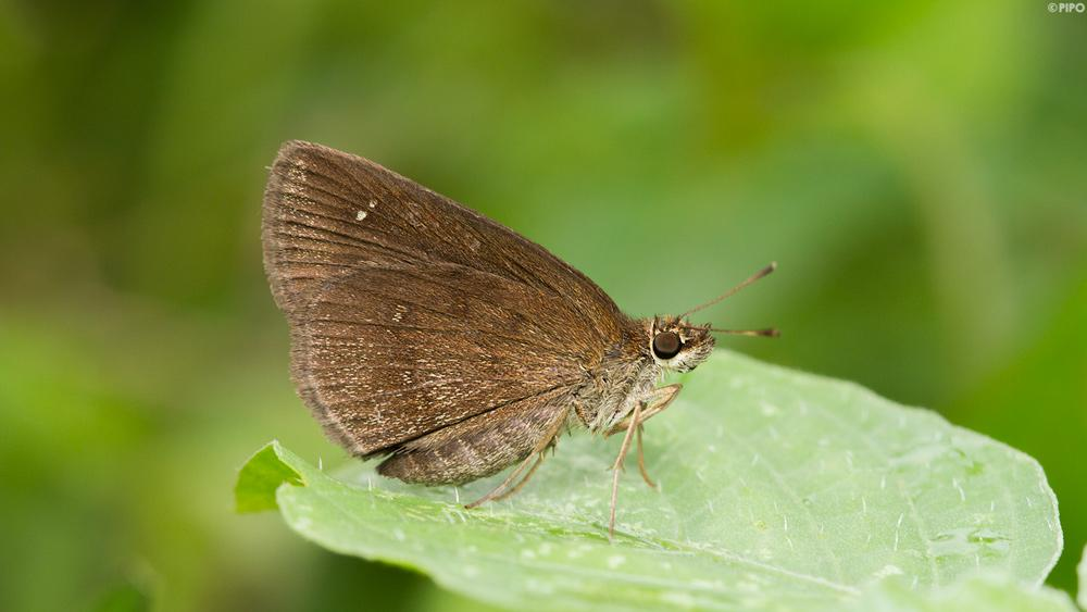 Astictopterus jama olivascens : Forest Hopper (ผีเสื้อนิลป่า)