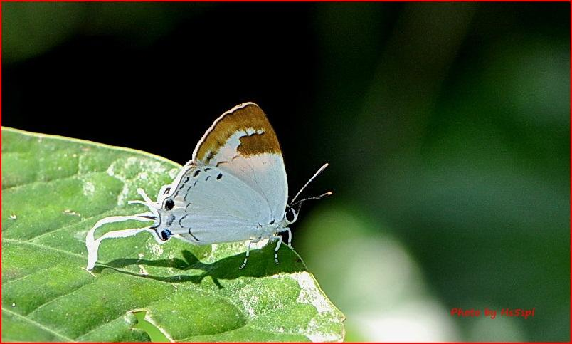 Suasa lisides lisides : Red Imperial (ผีเสื้อหางริ้วแดง)